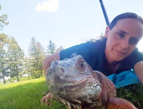 Iguanas on the Brink