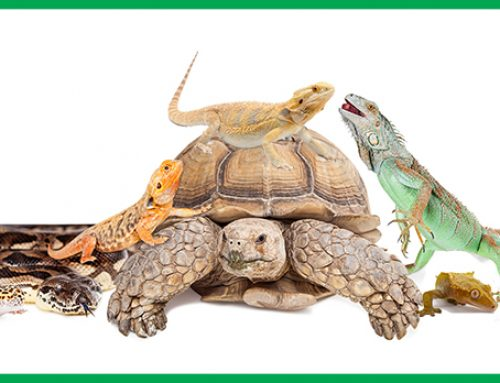 Reptiles are not Christmas Gifts
