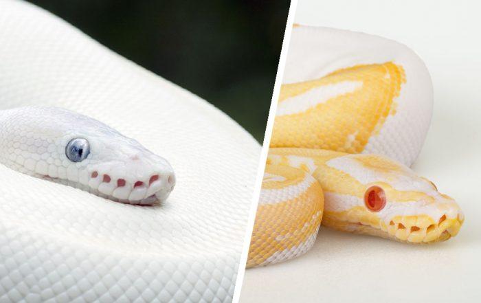 Leucistic VS Albino Reptiles
