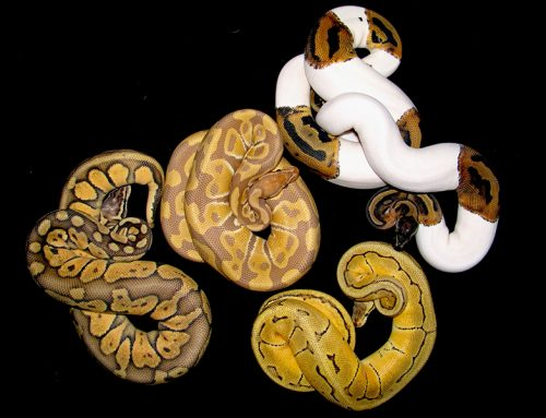 A Few Interesting Facts About Ball Pythons