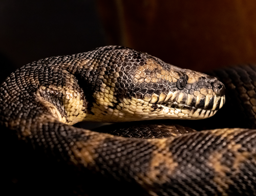 Our Featured Reptile This Month Is The Carpet Python